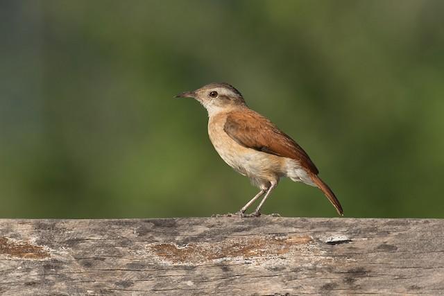 Lesser Hornero