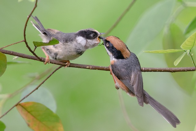 Parent feeding young.
