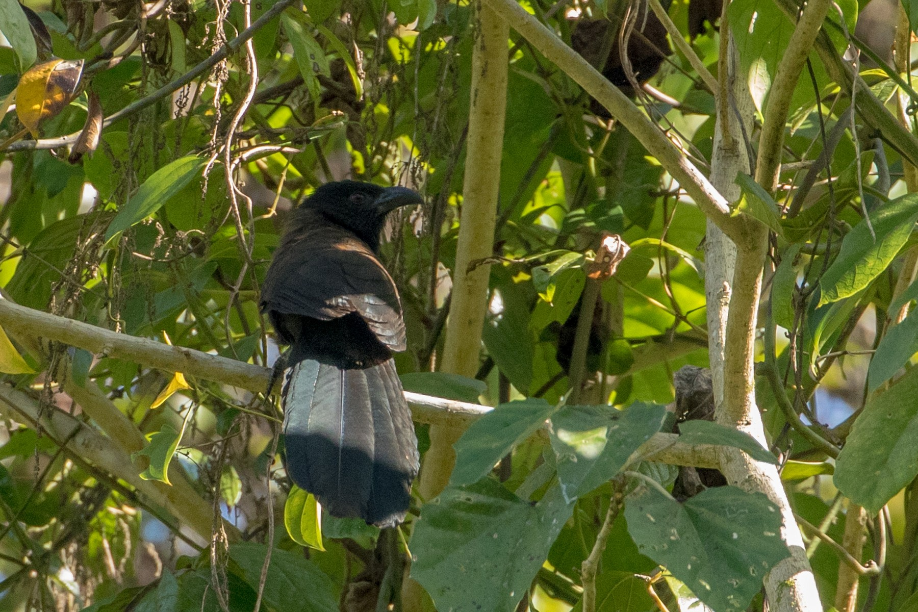 Black-hooded Coucal - Louis Bevier