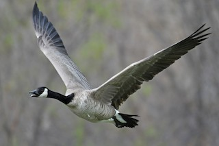 Canada Goose, ML149880521