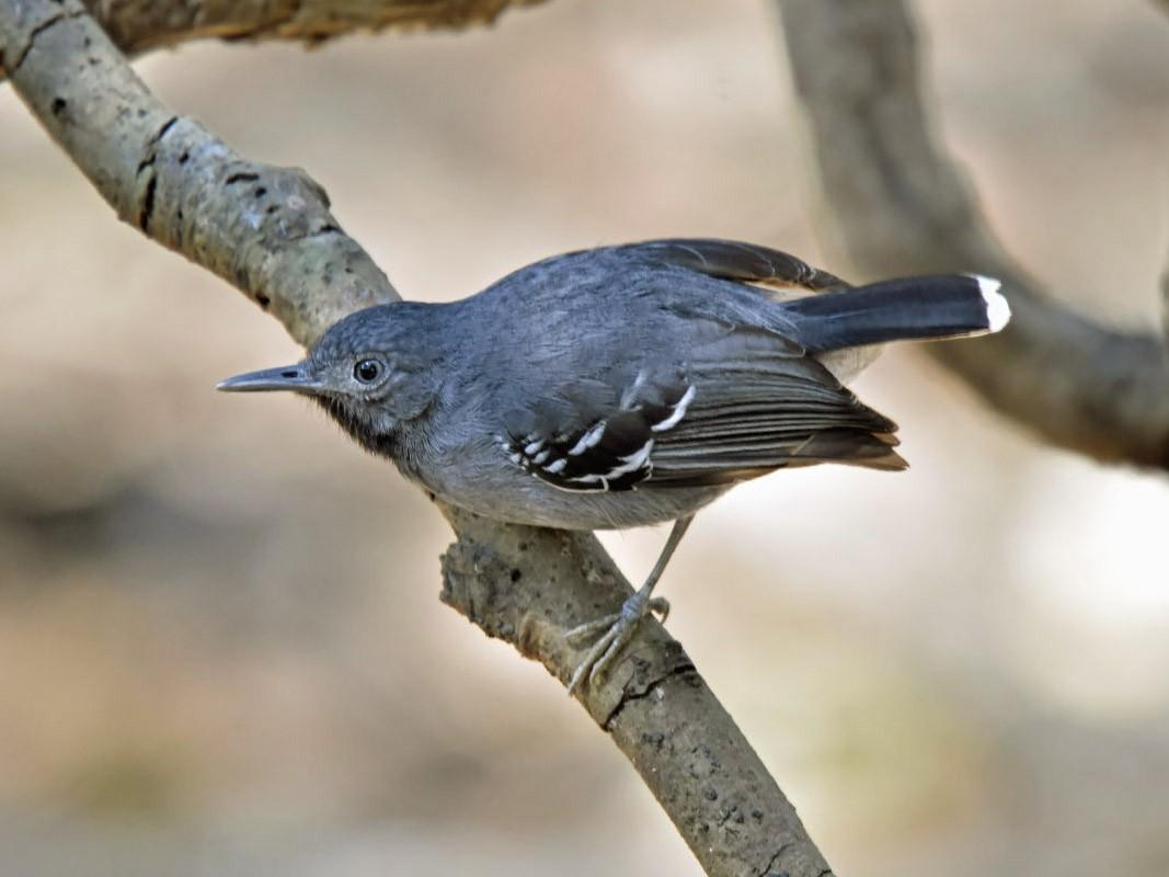Band-tailed Antbird - Tini & Jacob Wijpkema