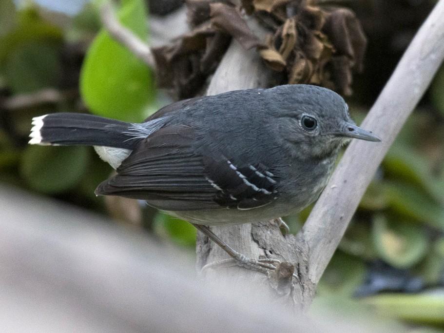 Band-tailed Antbird - Scott Buckel