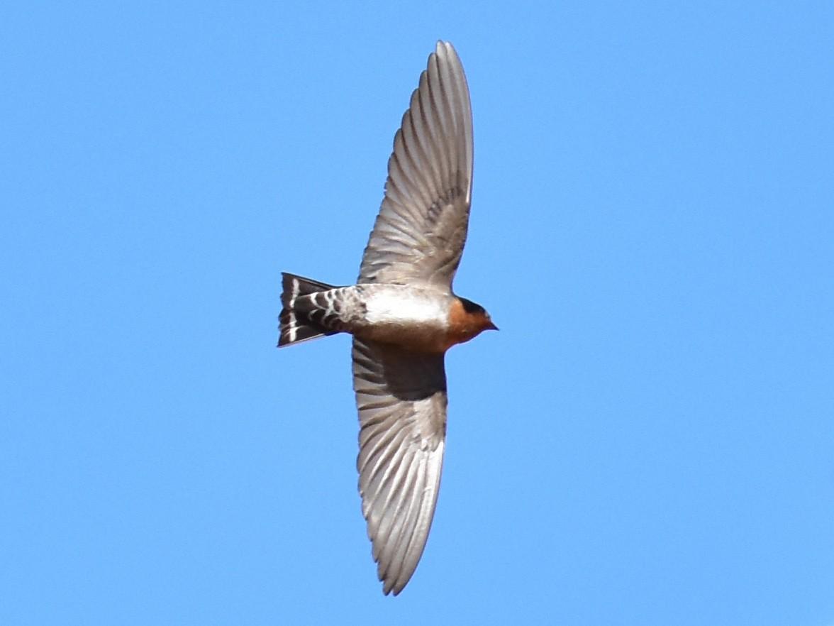 Hill Swallow - Aravind Amirtharaj