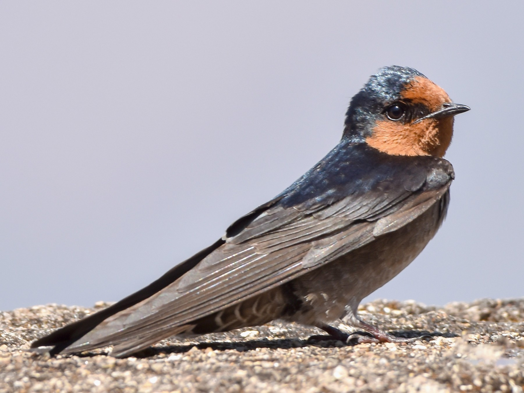 Hill Swallow - Jai Kiran