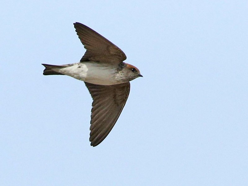Streak-throated Swallow - Khalifa Al Dhaheri