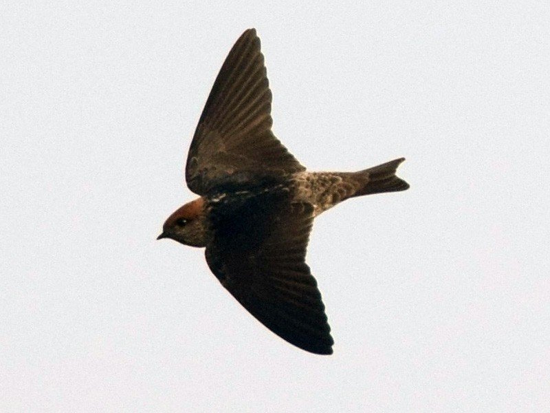 Streak-throated Swallow - Hareesha AS
