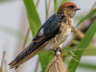 - Streak-throated Swallow