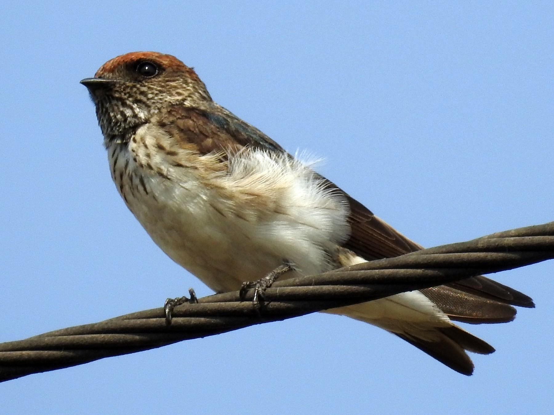 Streak-throated Swallow - Rajib Maulick