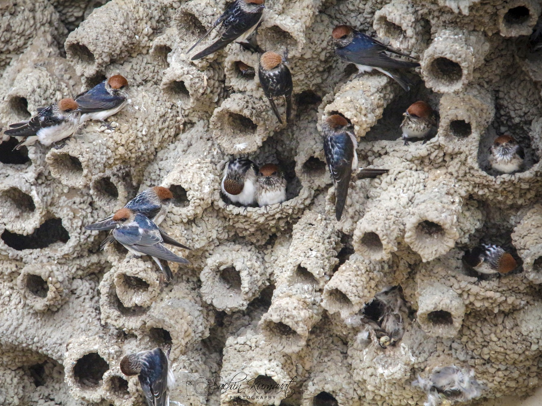 Streak-throated Swallow - Sachin Kumavat