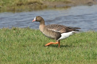 Lesser White-fronted Goose, ML149975911