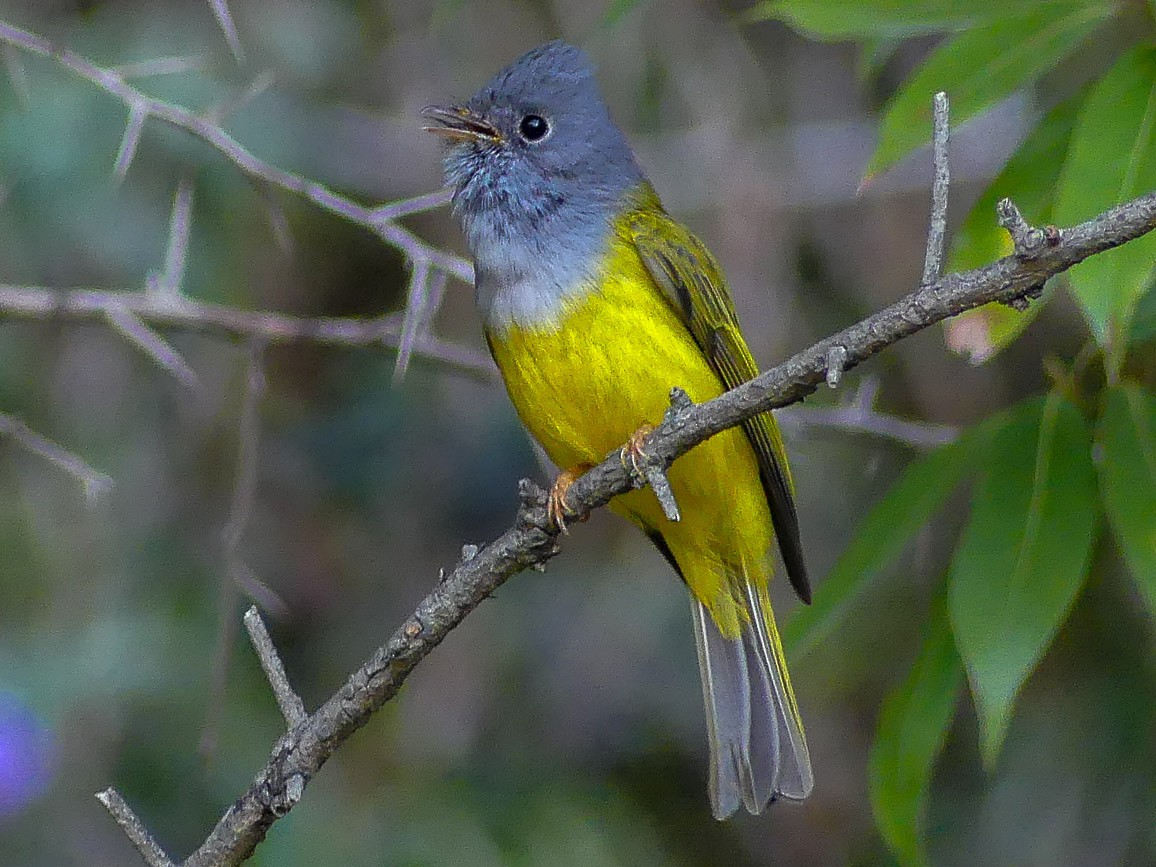 Gray-headed Canary-Flycatcher - Mike Prince