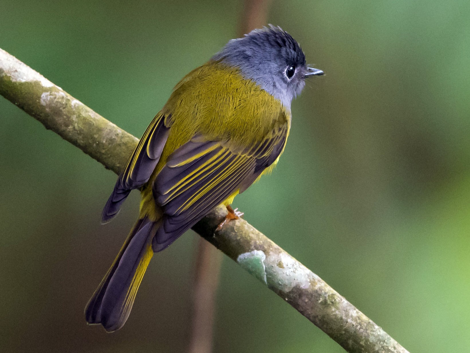 Gray-headed Canary-Flycatcher - Prashant Tewari