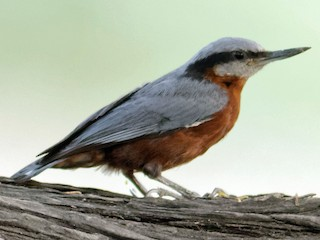 - Indian Nuthatch