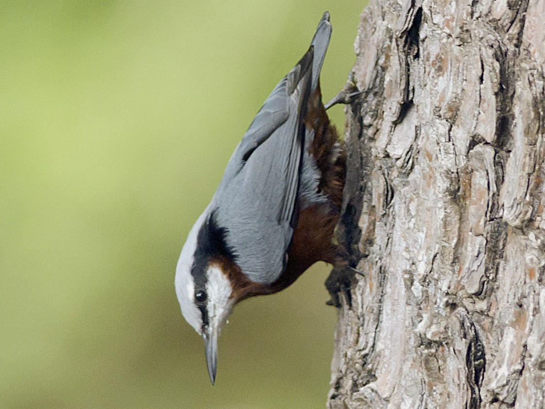 Indian Nuthatch - Kannan AS