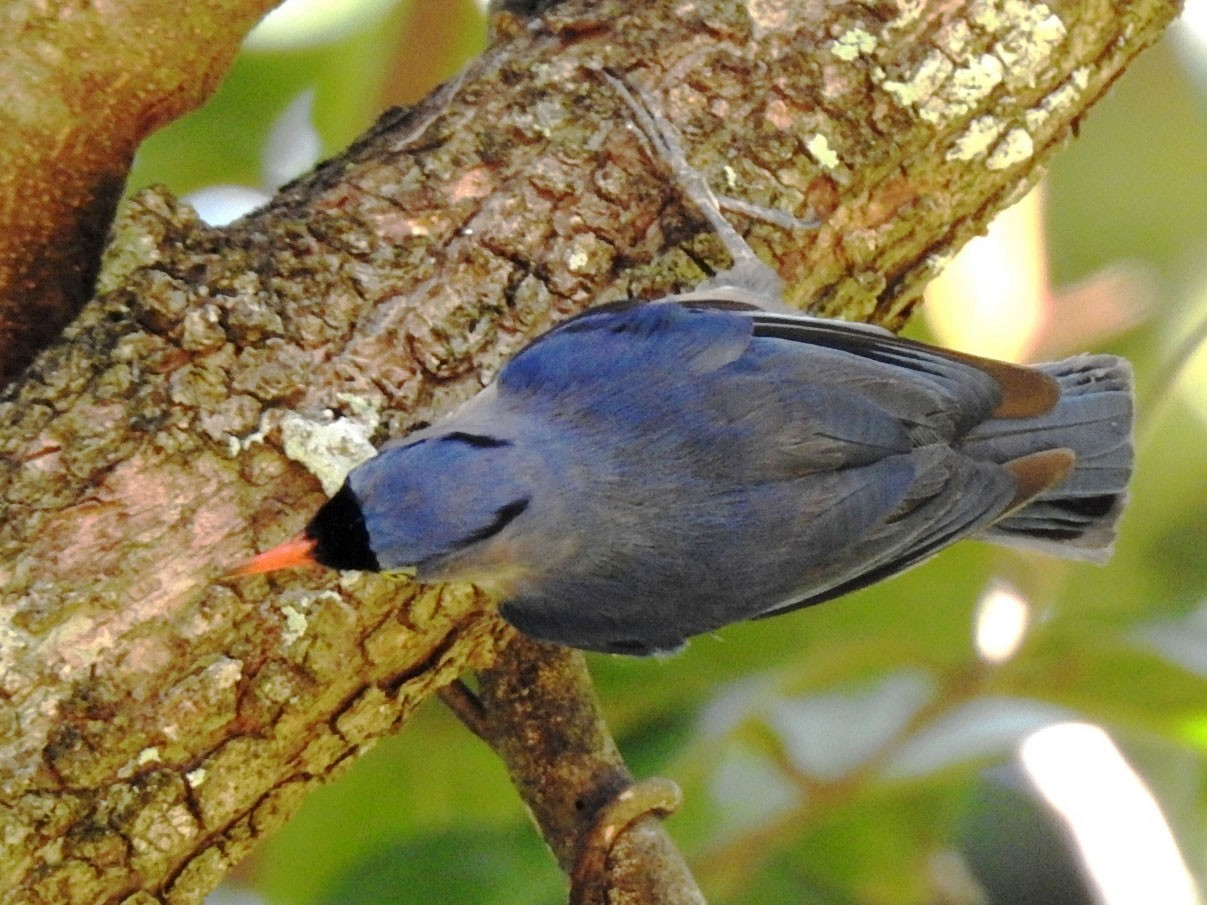 Velvet-fronted Nuthatch - Athula  Edirisinghe