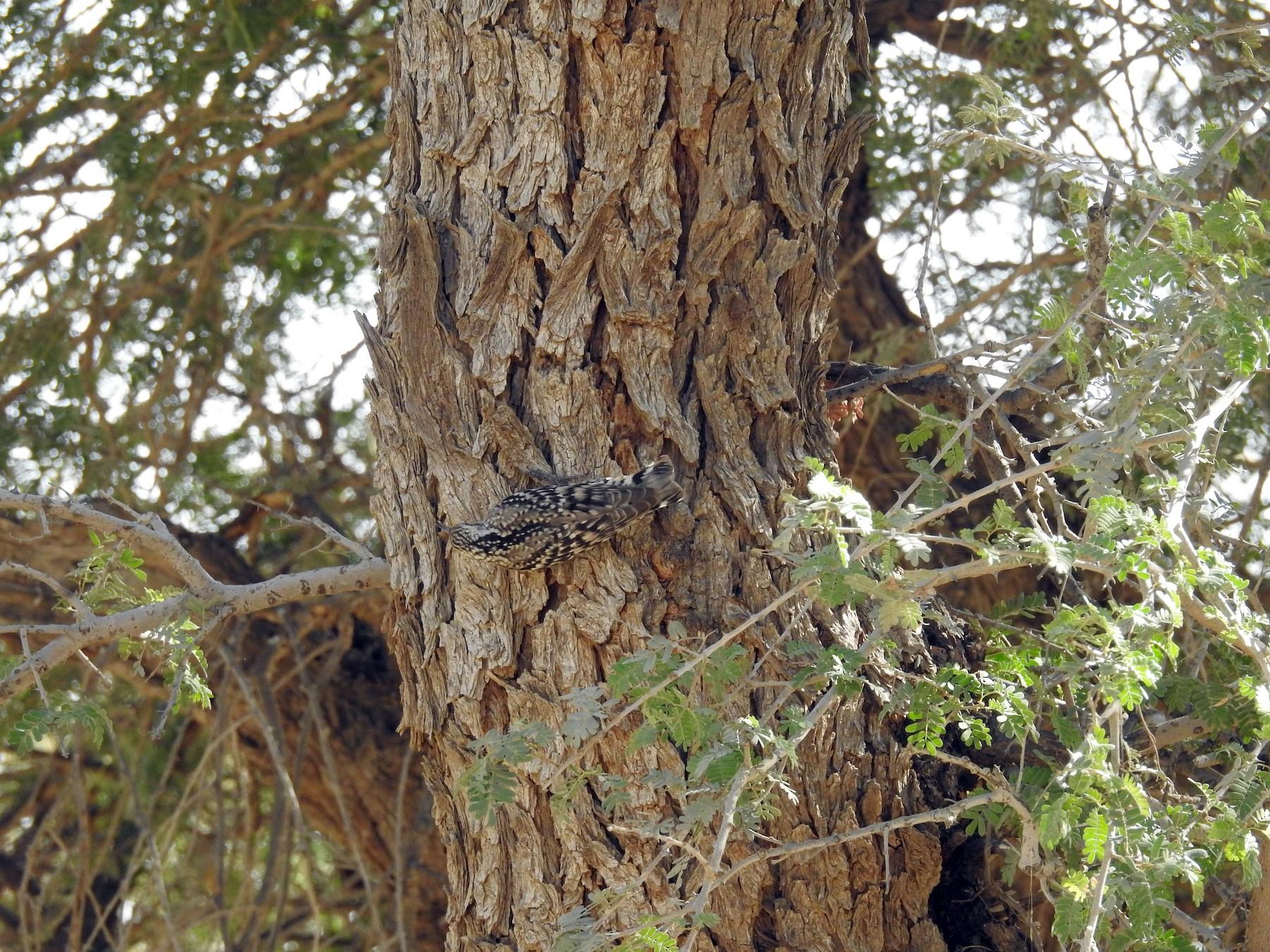 Indian Spotted Creeper - Ashwin Viswanathan