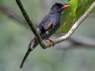 - Square-tailed Bulbul (Sri Lanka)
