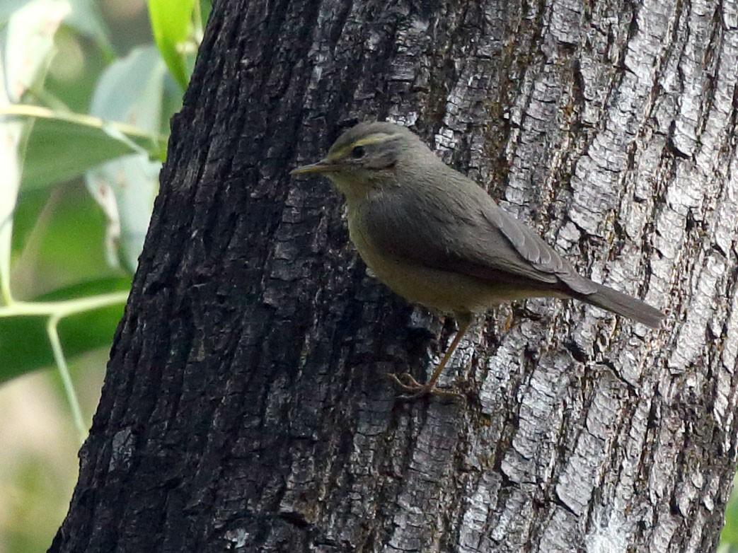 Sulphur-bellied Warbler - Rahul  Singh