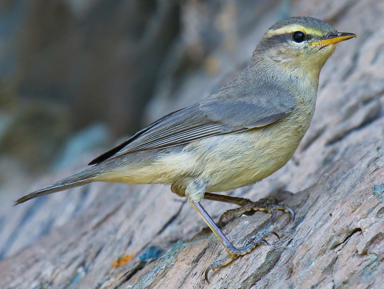 Sulphur-bellied Warbler - Craig Brelsford