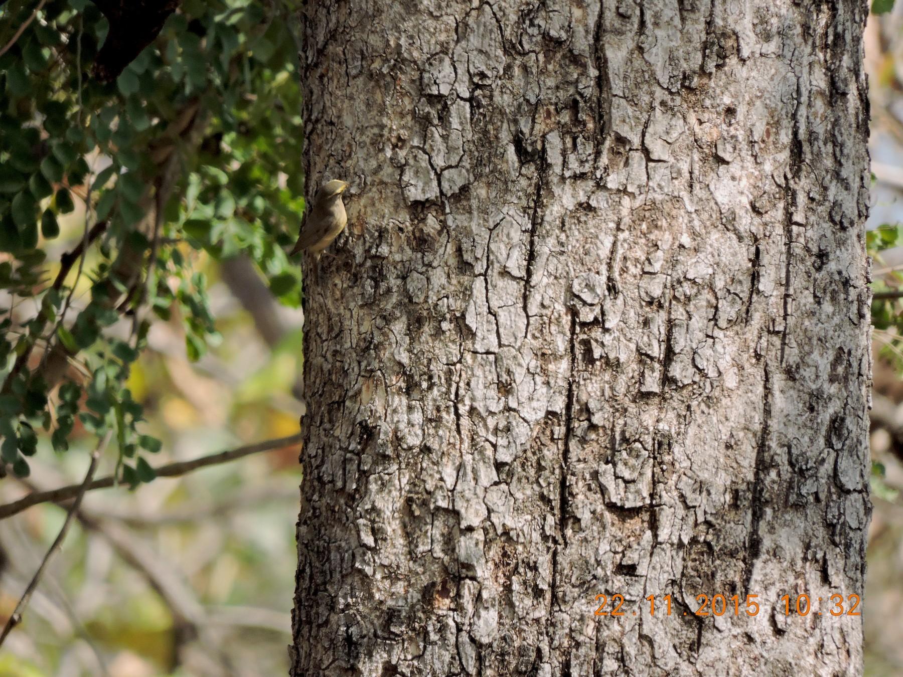 Sulphur-bellied Warbler - Anil Subramaniam
