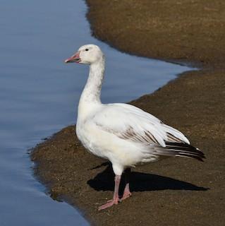 Snow Goose, ML150155281