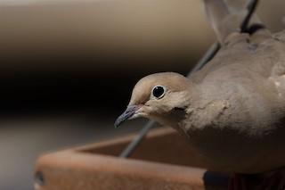 Mourning Dove, ML150179021