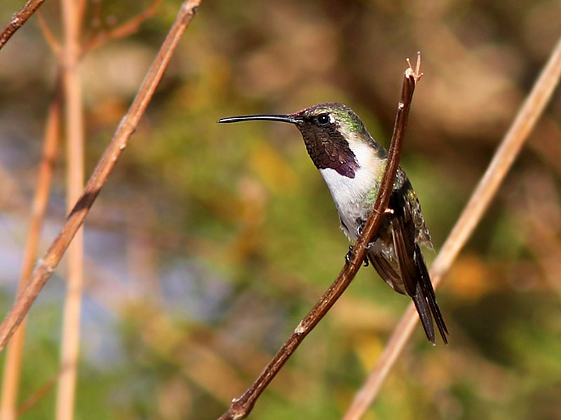 Beautiful Hummingbird - Amy McAndrews