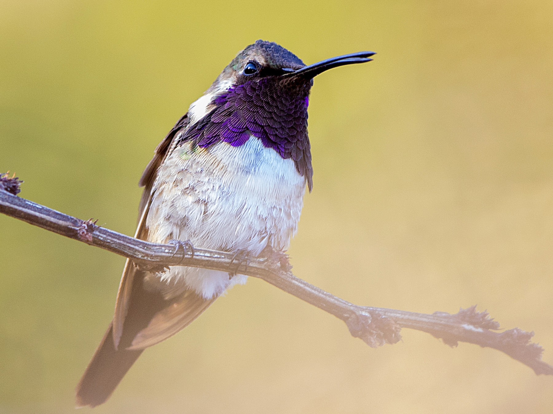 Beautiful Hummingbird - Bradley Hacker