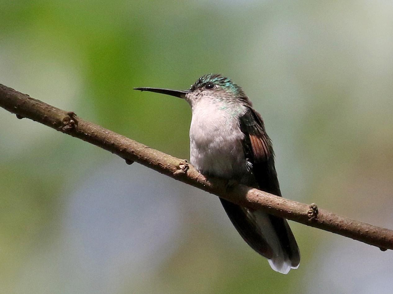 Blue-capped Hummingbird - Jay McGowan