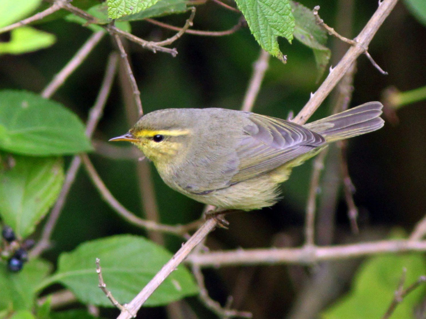 Tickell's Leaf Warbler - abhijith a.p.c