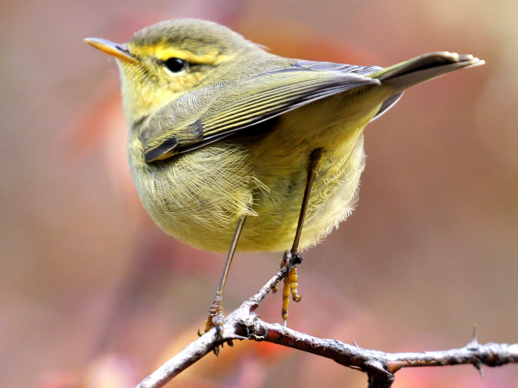 Tickell's Leaf Warbler - Leki Wangdi