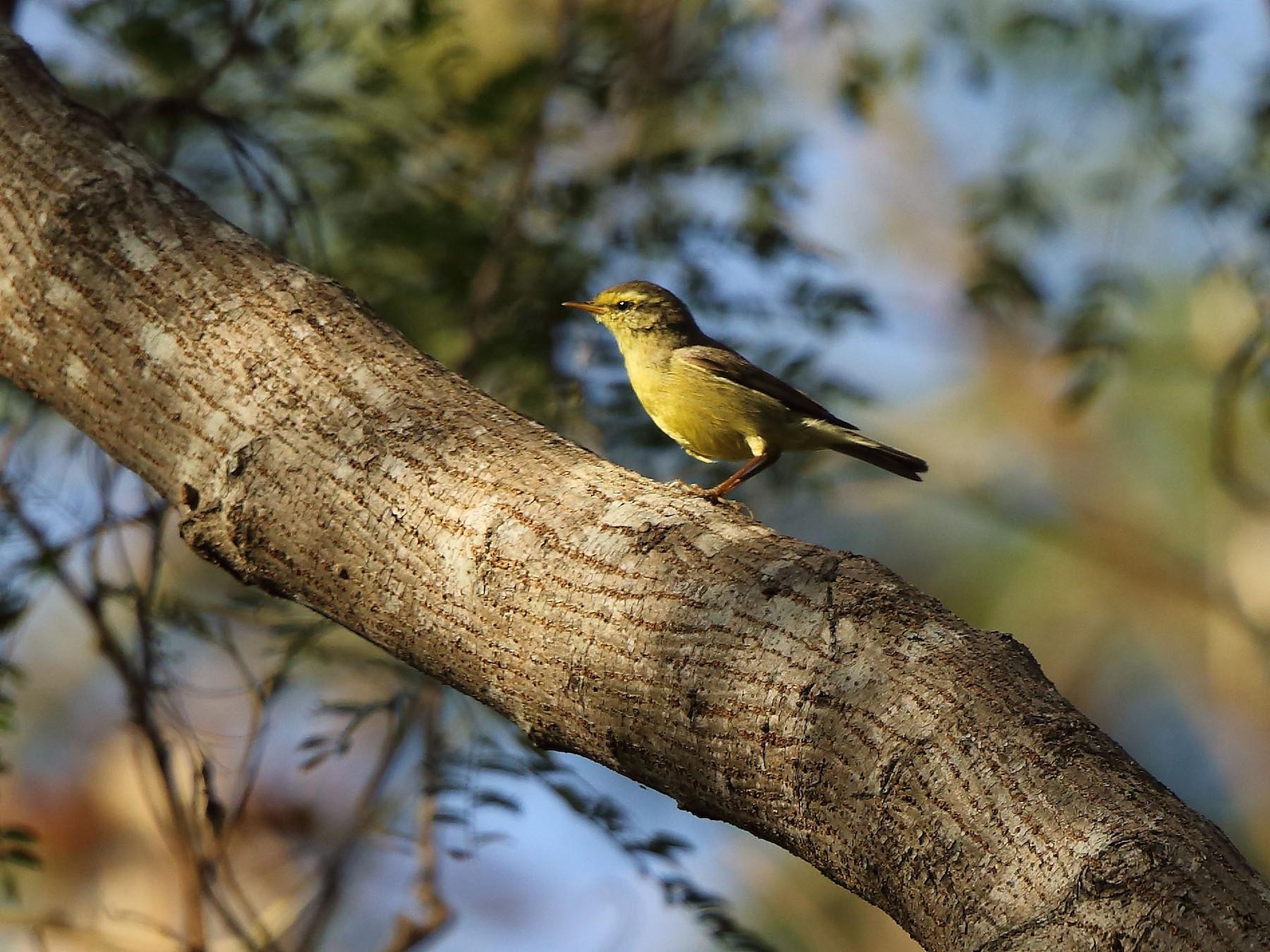 Tickell's Leaf Warbler - Albin Jacob