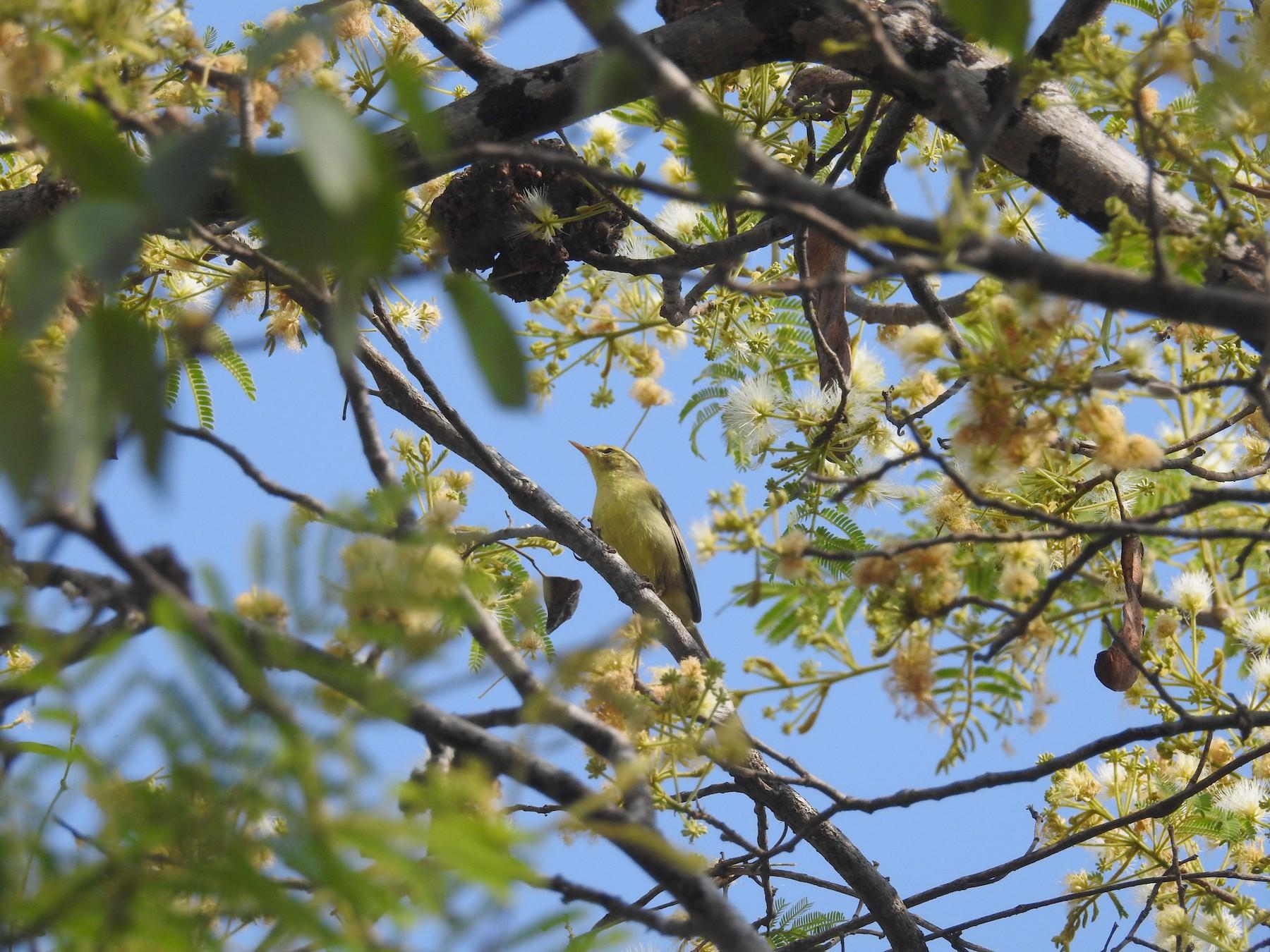 Tickell's Leaf Warbler - Ashwin Viswanathan