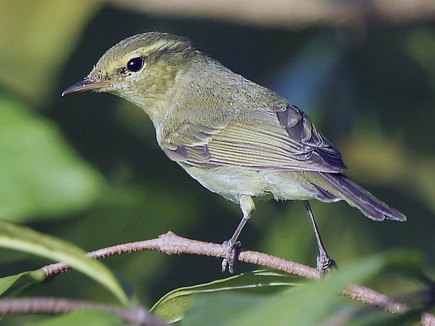 Green Warbler - Albin Jacob