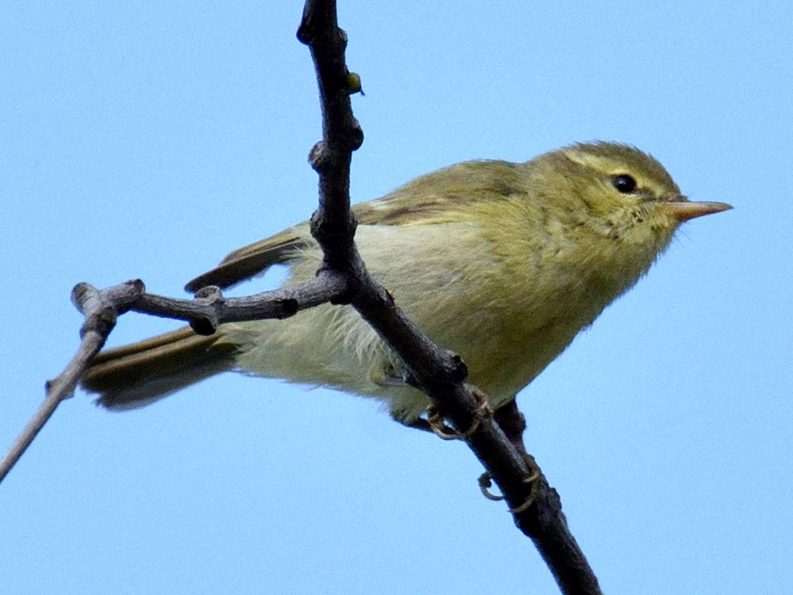 Green Warbler - Mallika Rajasekaran