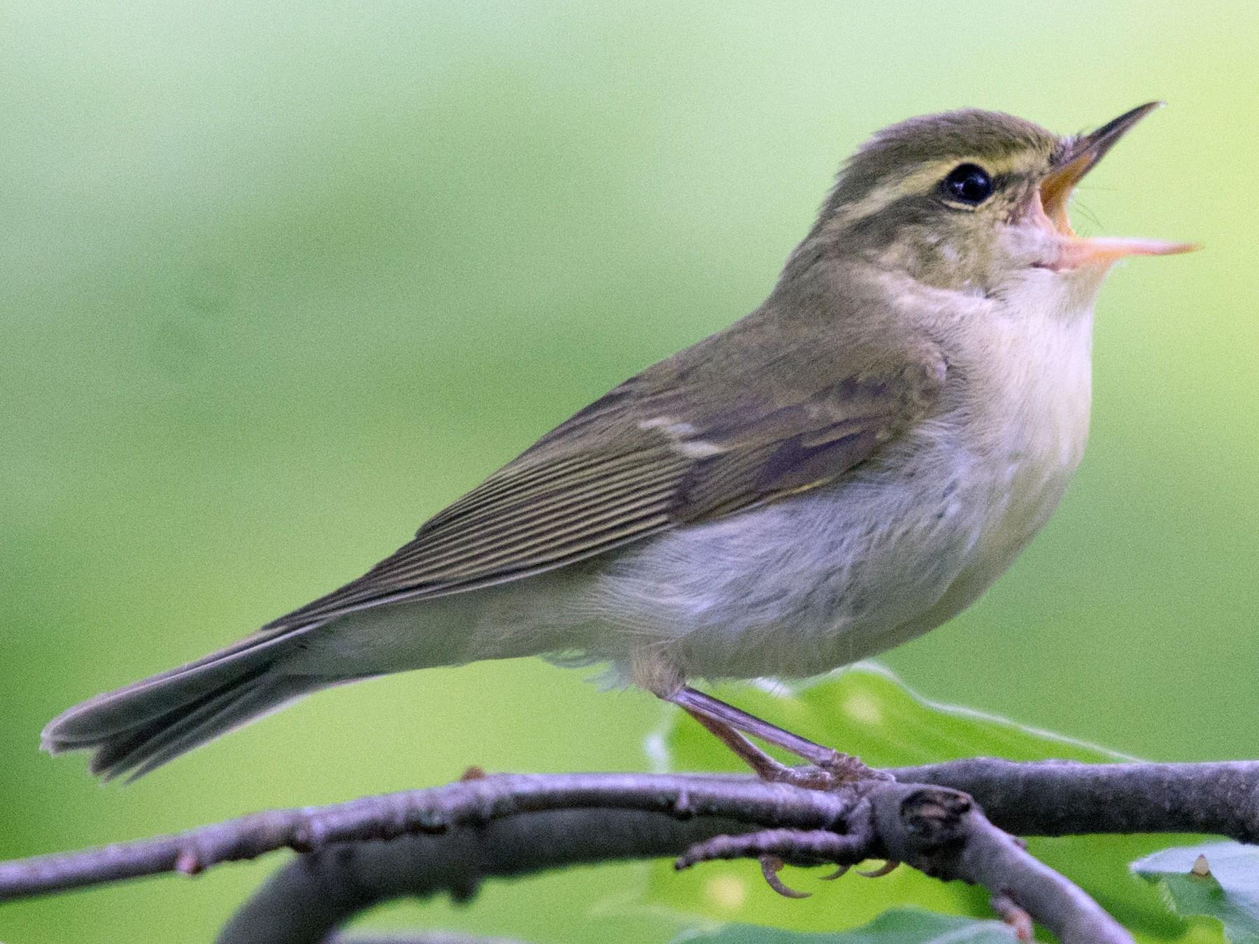 Green Warbler - John C. Mittermeier