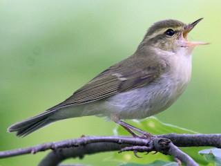 - Green Warbler