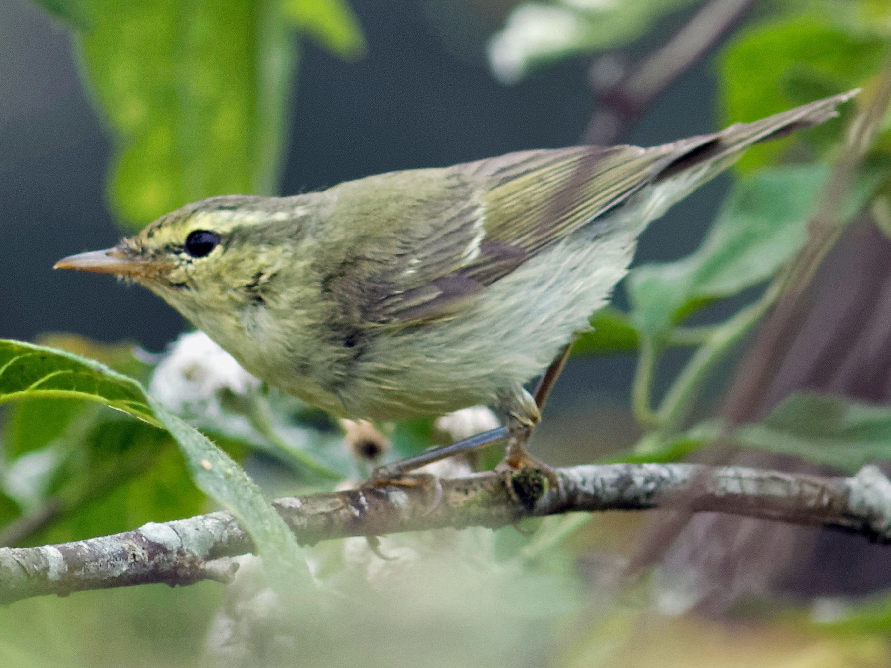 Green Warbler - Able Lawrence