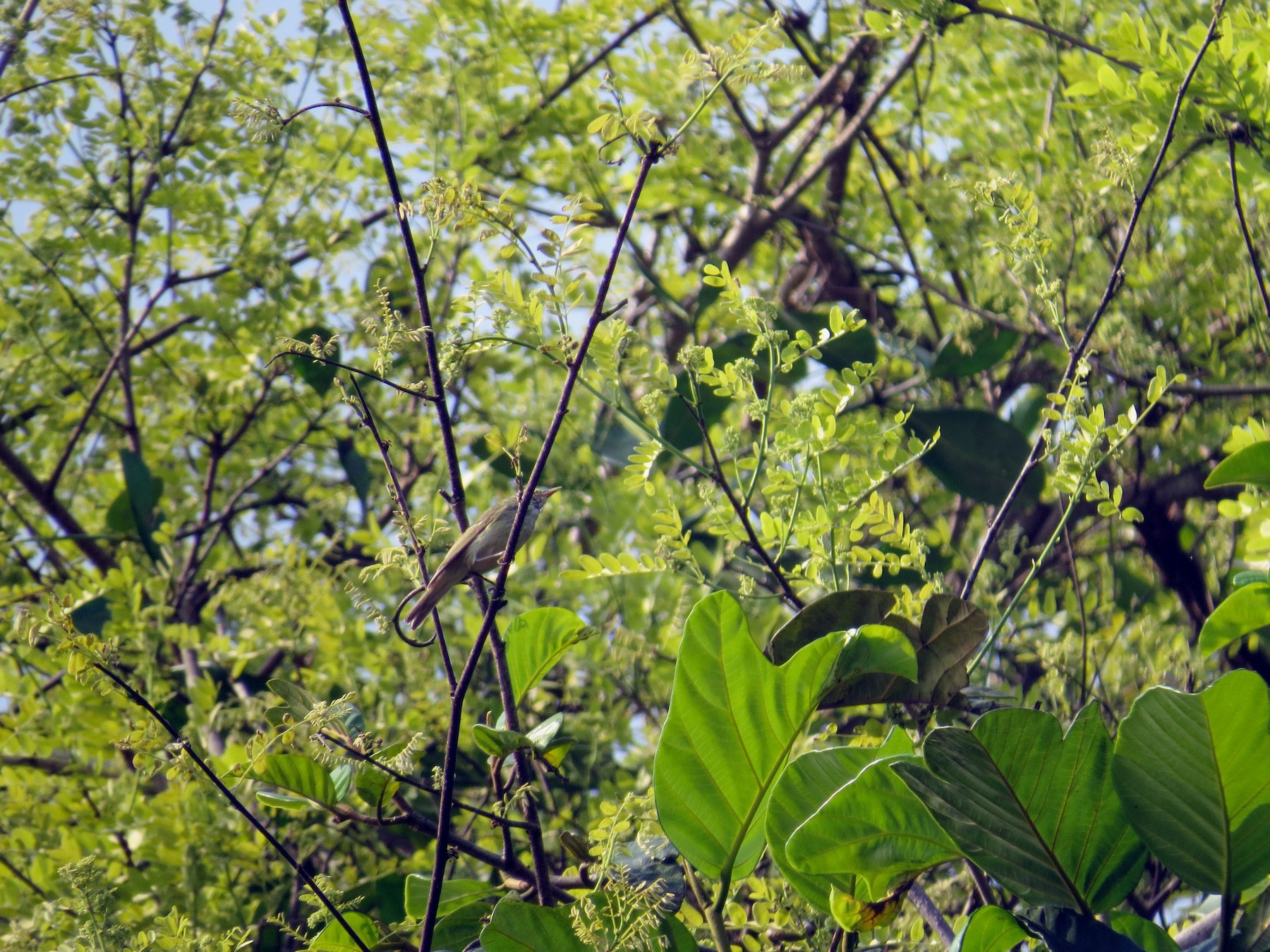 Green Warbler - Ashwin R