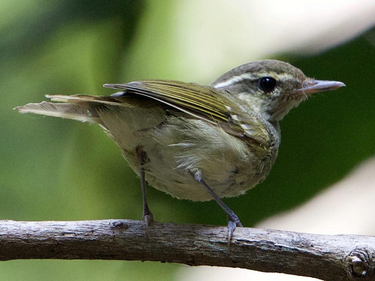Large-billed Leaf Warbler - Snehasis Sinha