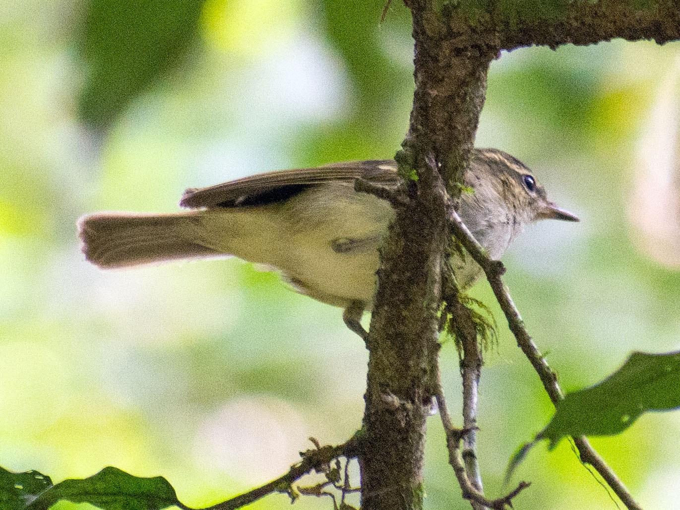 Large-billed Leaf Warbler - Afthab Faisal k