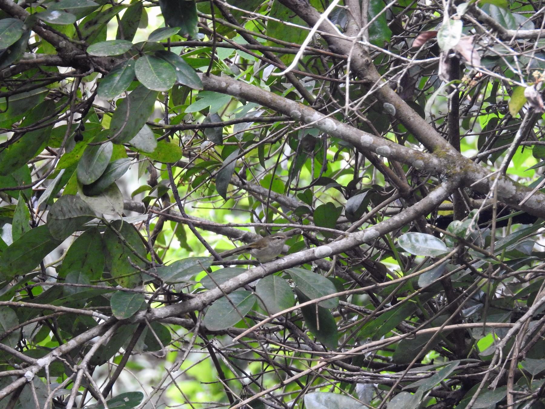 Large-billed Leaf Warbler - viral joshi