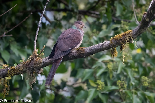Barred Cuckoo-Dove