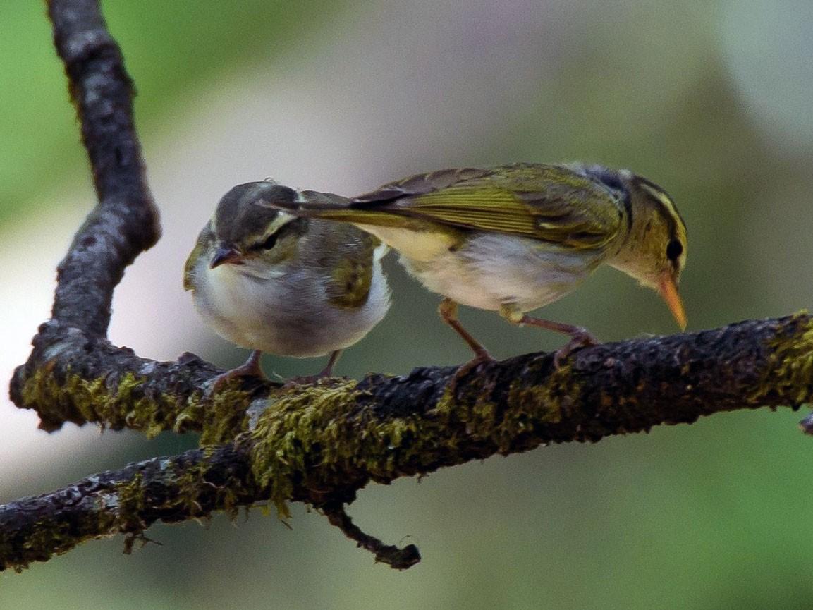 Western Crowned Warbler - Ashish Kothari
