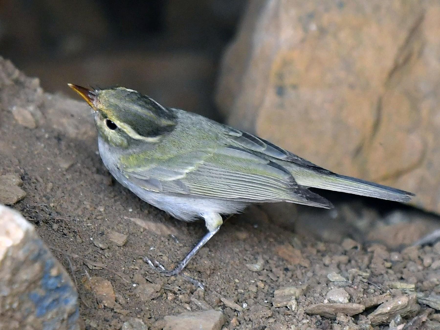 Western Crowned Warbler - Kalyan Ineni