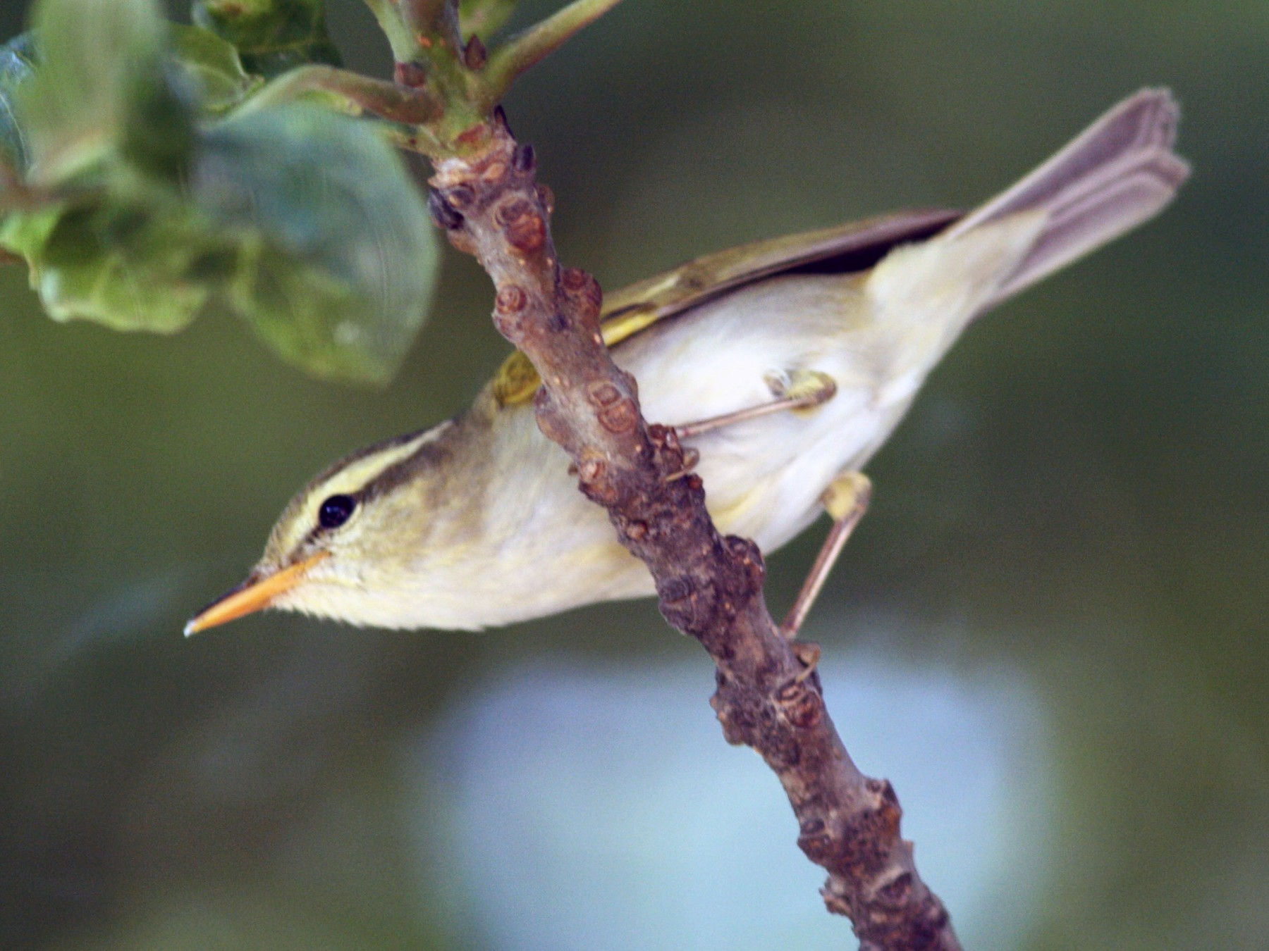 Western Crowned Warbler - PANKAJ GUPTA