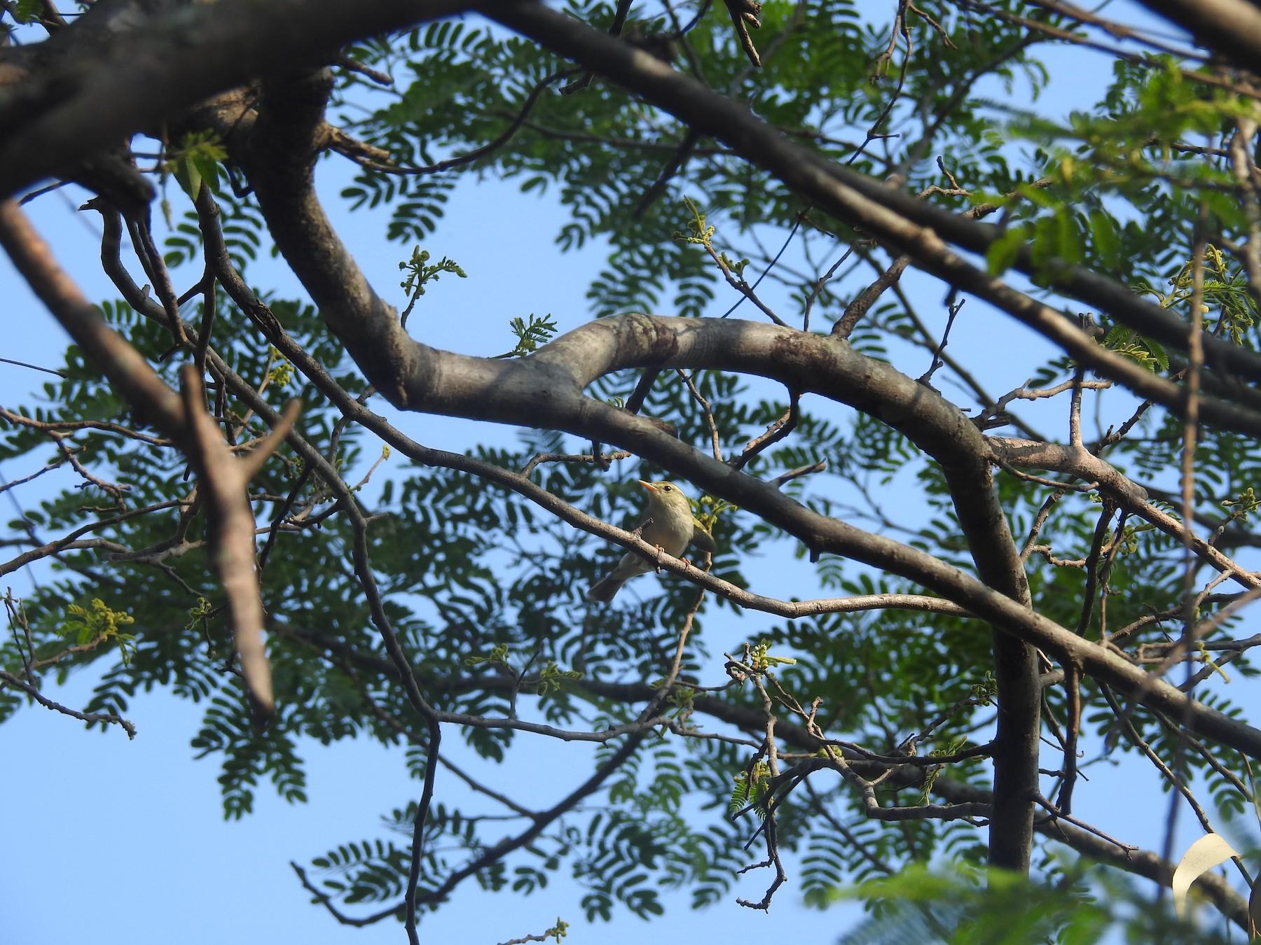 Western Crowned Warbler - Ashwin Viswanathan