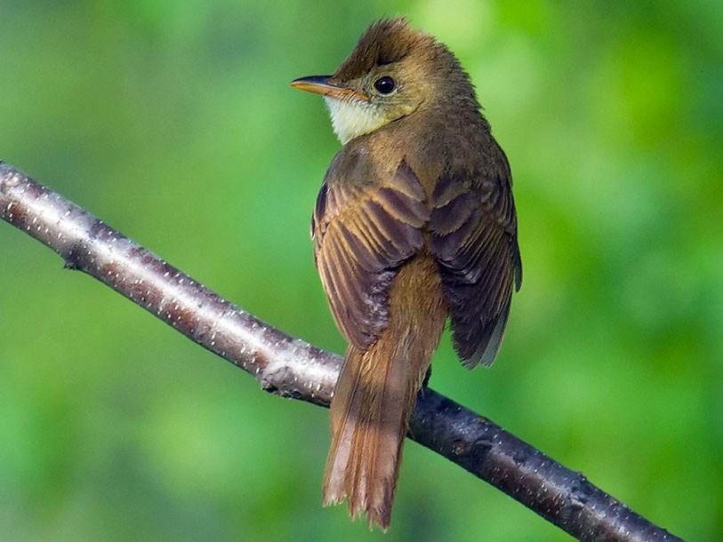 Thick-billed Warbler - Craig Brelsford