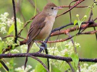 - Thick-billed Warbler