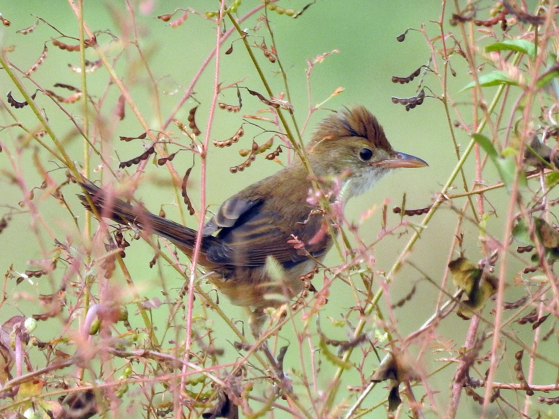 Thick-billed Warbler - Afsar Nayakkan